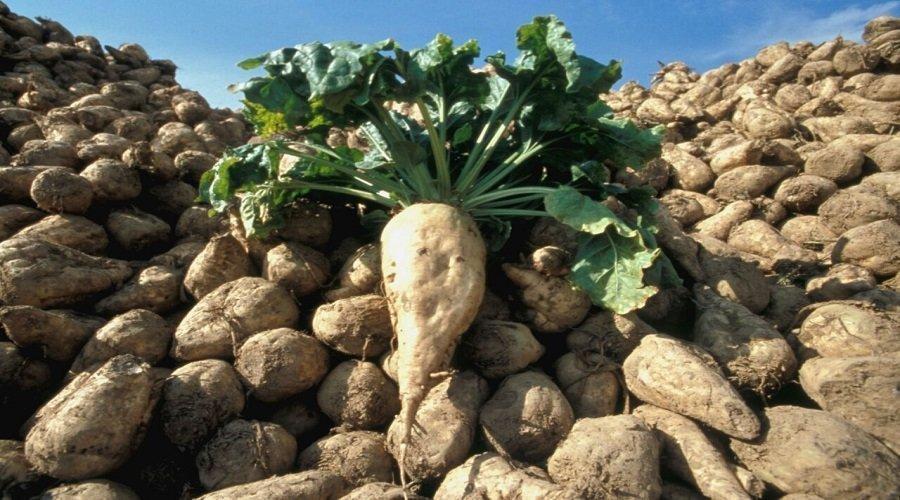 إنتاج قياسي للزراعات السكرية بحوض اللوكوس