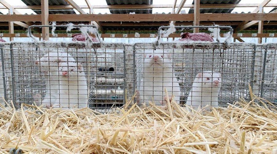 رصد كورونا في مزارع لتربية حيوان المنك بـ 6 دول