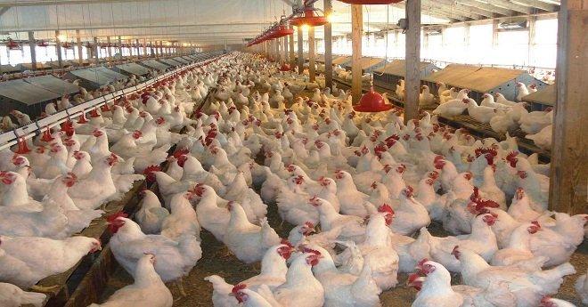 خطير.. التحقيق في استعمال مواد مسرطنة في ضيعات لتربية الدجاج