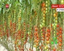 برنامج المغرب الأخضر يقربنا من  زراعة الطماطم في رمال الصحراء ويطلعنا على تقنيات تربية طائر النعام