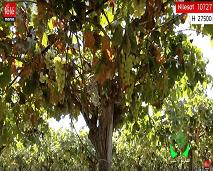 المغرب الأخضر: زووم على تربية الدواجن و عنب منطقة الشراط