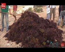 سوق الطحالب الحمراء بالمغرب ومعاناة مهنيّي القطاع