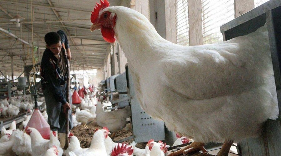 لهذا السبب ارتفعت أسعار لحوم الدجاج في المغرب