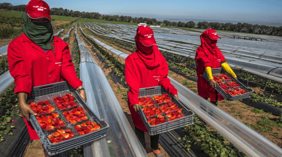 الأمم المتحدة تستنكر ظروف اشتغال عاملات الفراولة المغربيات بإسبانيا