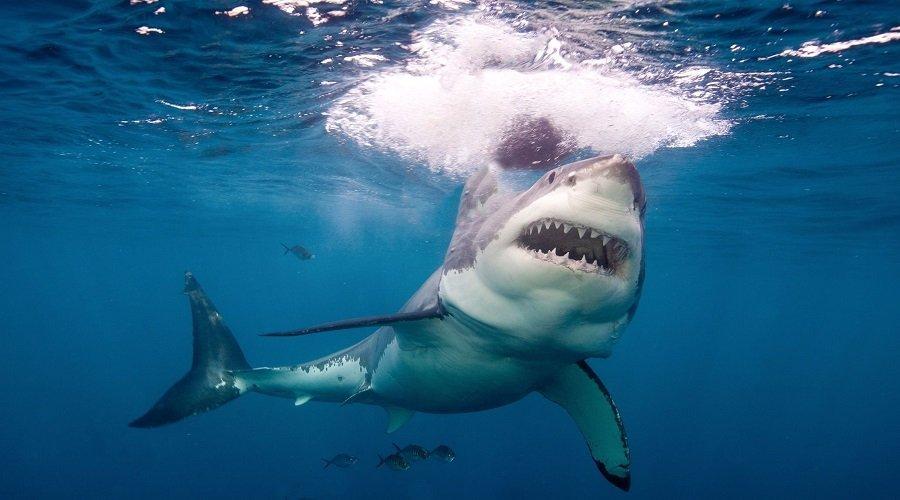 دراسة علمية تثبت أن الحمض النووي لسمك القرش قادر على علاج السرطان