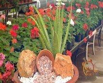 """ما يجب معرفته عن نبتة الصبار """"الألوفيرا"""""""