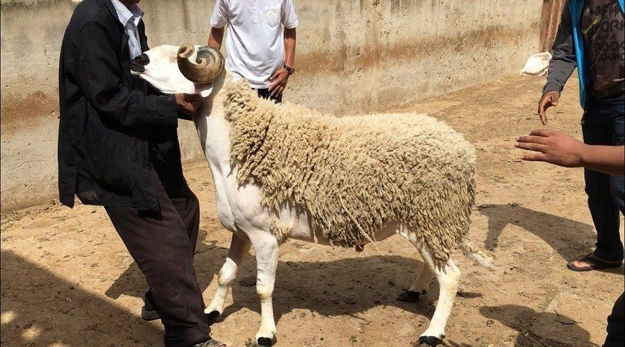 عيد الأضحى.. ترقيم أزيد من 2ر7 مليون رأس من الأغنام والماعز