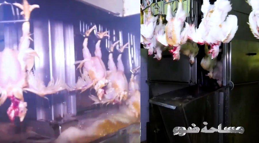 ظروف تجهيز وإعداد اللحوم  بالمجازر المعتمدة بالبيضاء