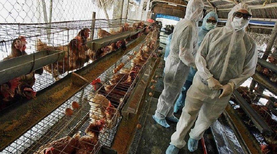 هولندا تستعد لإعدام 35700 دجاجة بعد رصد بؤرة خطيرة لإنفلونزا الطيور