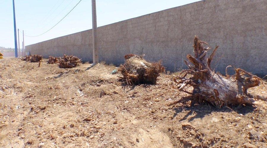 جريمة بيئية بآسفي.. اقتلاع ألف شجرة أوكاليبتوس وإتلاف جذورها