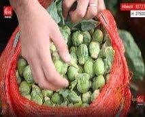 مستهلك.. كواليس زرع وجني الملفوف الصغير