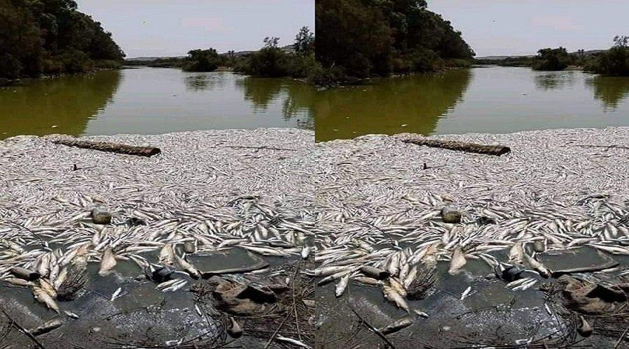 كارثة بيئية تضرب منطقة ماسة ونفوق أسماك بالمئات