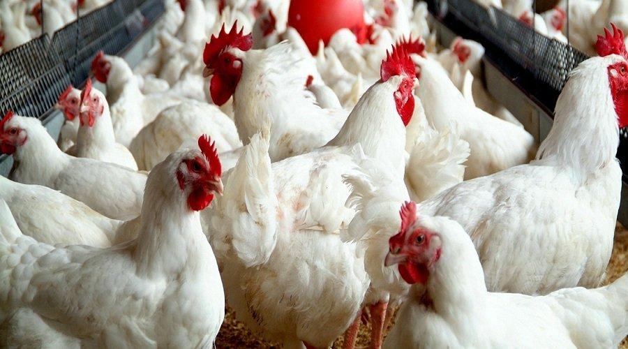 """الفيدرالية البيمهنية لقطاع الدواجن تنفي المصادقة مطلقا على شركة """"دجاج المزرعة"""""""