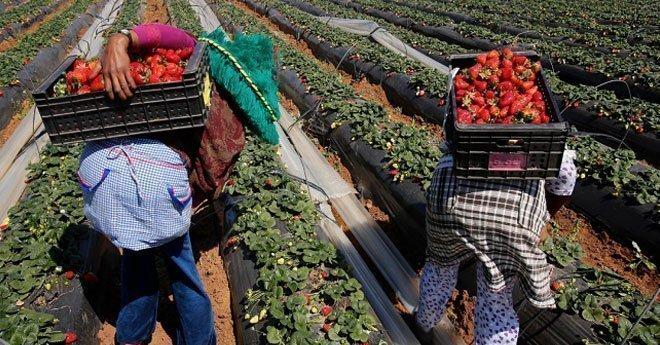 وزارة الشغل تكشف حقيقة تعرض عاملات الفراولة المغربيات بإسبانيا للتحرّش