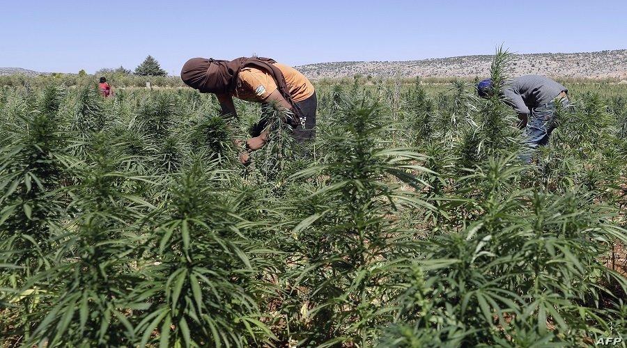 الأمم المتحدة تسحب القنب الهندي من لائحة المخدرات الخطرة