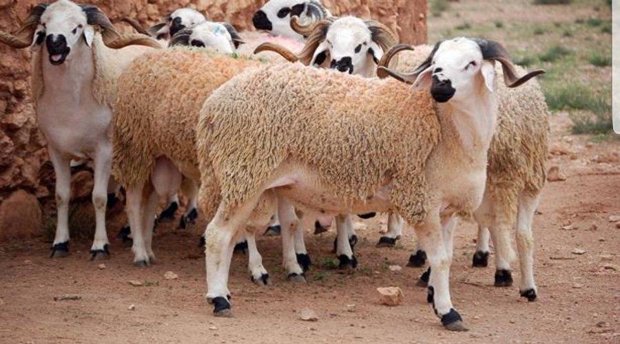عيد الأضحى.. العرض من القطيع يتجاوز الطلب ورقم المعاملات يبلغ 12 مليار درهم