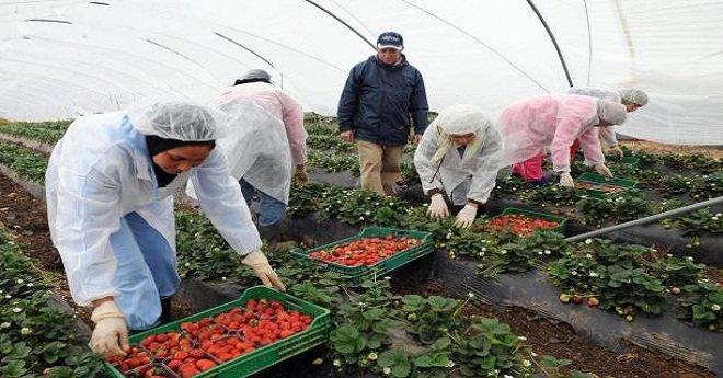 الشروع في تسجيل أزيد من 1500 عاملة لجني الفراولة بإسبانيا.. وهذه هي الشروط