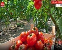 مستهلك.. الفوائد الصحية للطماطم