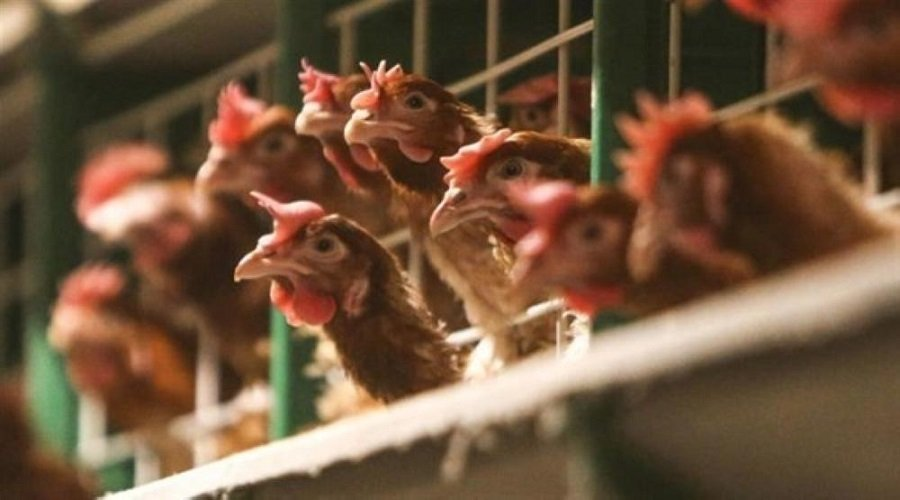 الصين تحظر استيراد الدواجن من فرنسا بسبب تفشي انفلونزا الطيور