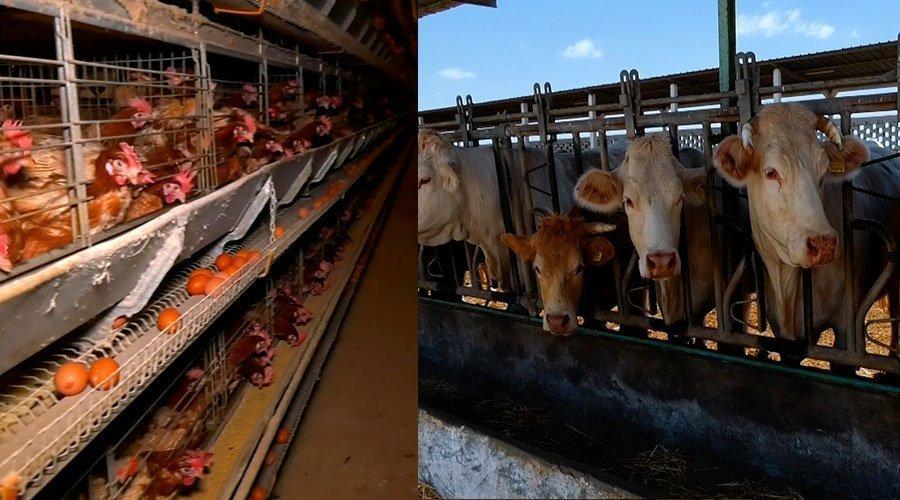 المغرب الأخضر: كيفية تسمين العجول وطرق إنتاج البيض