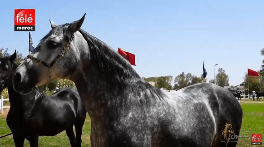 خيول: اكتشفوا تاريخ ومميزات الخيول البربرية والعربية البربرية وطرق تربيتها