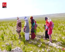 """من باطن الأرض إلى أفخم الموائد... أو قصة نساء مغربيات يجمعن """"الترفاس"""""""