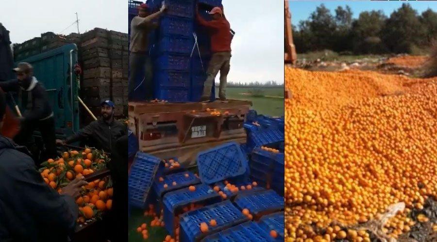 بالفيديو... فلاحون يتخلصون من أطنان البرتقال للتحكم في الأسعار