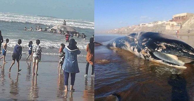 فيديو.. أطفال يلعبون فوق ظهر حوت ضخم ألقى به البحر بشاطئ زناتة بالدار البيضاء